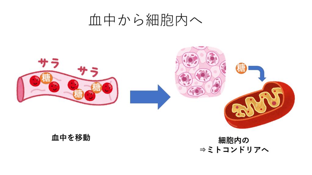 血中から細胞内へ(糖の移動)